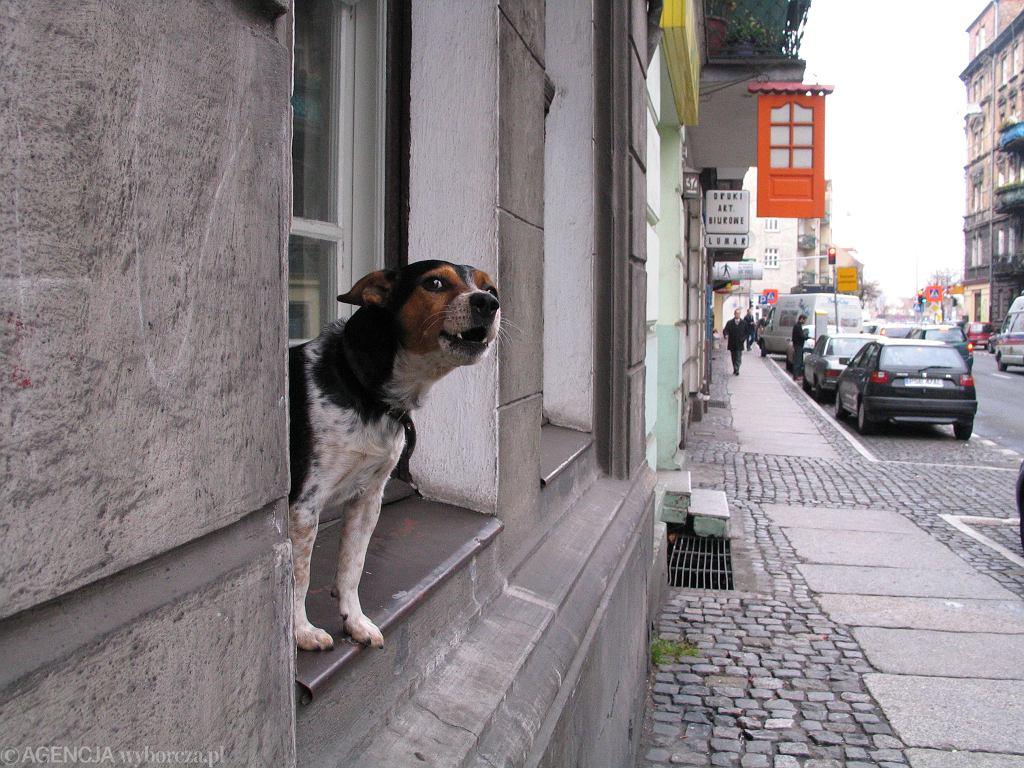 Szczekający pies (zdjęcie ilustracyjne)