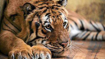 Cała Polska żyła historią tygrysów zatrzymanych na granicy. Co sięz nimi teraz dzieje?
