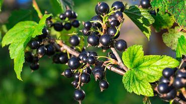 Najwięcej witaminy C posiada acerola, dzika róża, camu camu, czarna porzeczka i rokitnik