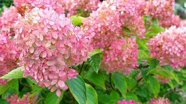Hortensja bukietowa to piękna ozdoba roślina. Zdjęcie ilustracyjne