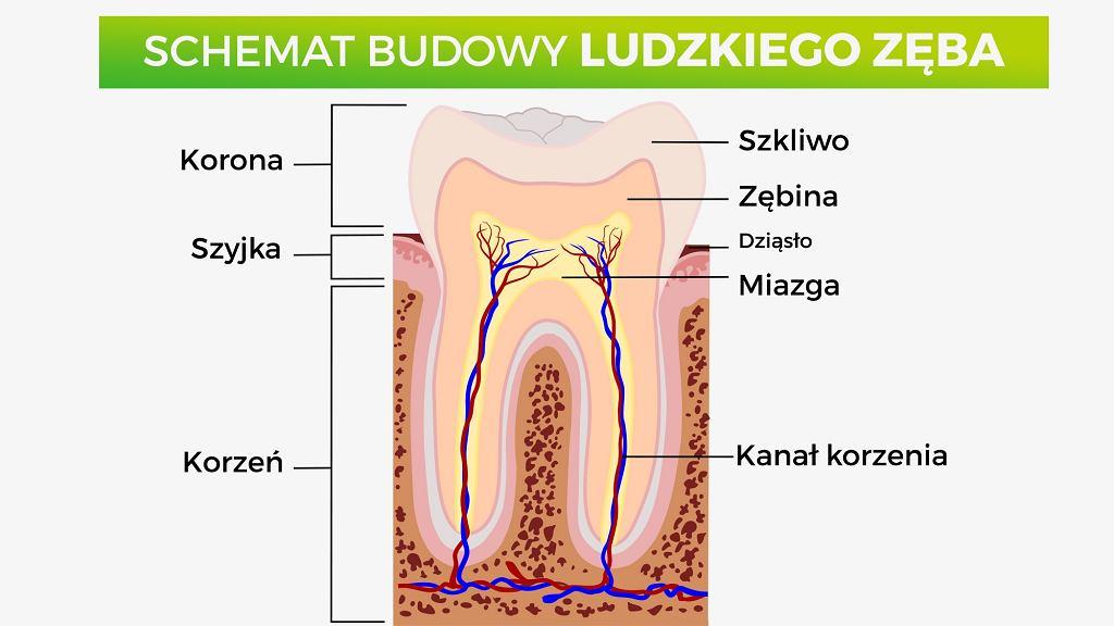 Budowa zęba: kanał korzeniowy, w którym znajduje się miazga, czyli żywa tkanka, która jest unerwiona i unaczyniona, zębina i szkliwo