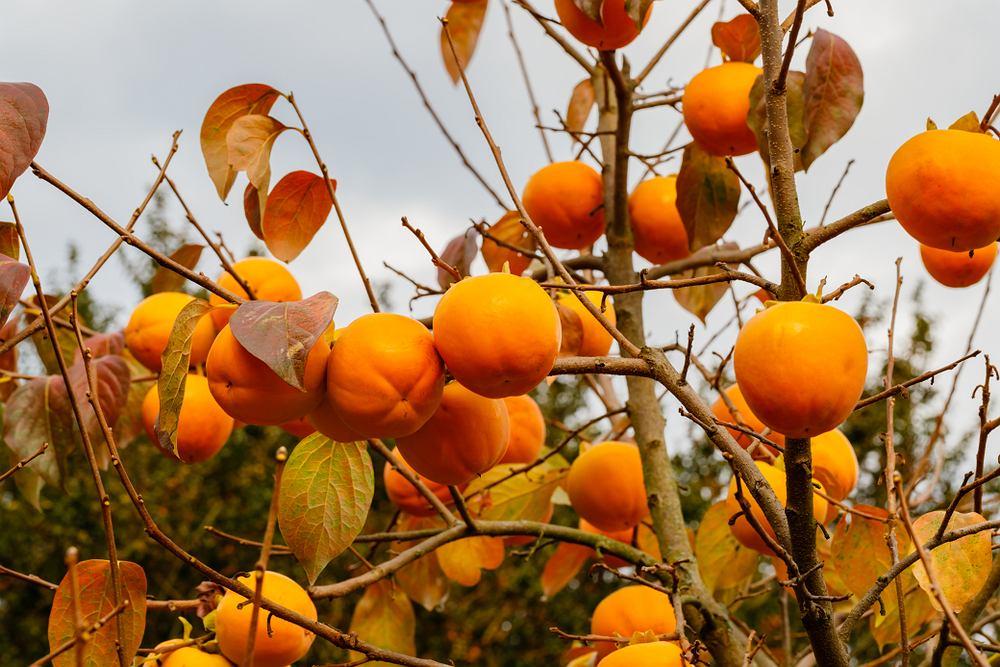 Sharon, to owoc znany również jako persymona, albo kaki pomaga m.in w obniżeniu cholesterolu