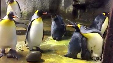 Pingwiny porwały dziecko sąsiadom