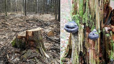 Ostatni naturalny las nizinny Europy nie bez powodu jest jedynym przyrodniczym obiektem w Polsce wpisanym na listę Światowego Dziedzictwa Unesco. Istniejący tu od ponad 80 lat, najstarszy w naszym kraju park narodowy, czytelnicy brytyjskiego Guardiana uznali za jeden z 10 najciekawszych w Europie Od roku o Puszczy Białowieskiej jest głośno z innych powodów. Przekonajcie się jak wygląda w części nietkniętej ręką człowieka i tej 'zadbanej' przez Jana Szyszkę i Lasy Państwowe.
