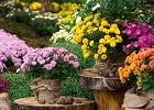 Jesienne kwiaty: chryzantema wielokwiatowa. Jak o nią dbać?