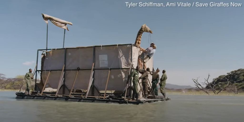 Ewakuacja żyrafy z zalewanej wodą wyspy
