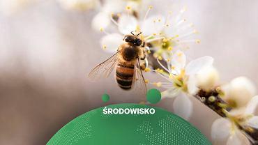 Pszczoły trenowane do wykrywania koronawirusa (zdjęcie ilustracyjne)