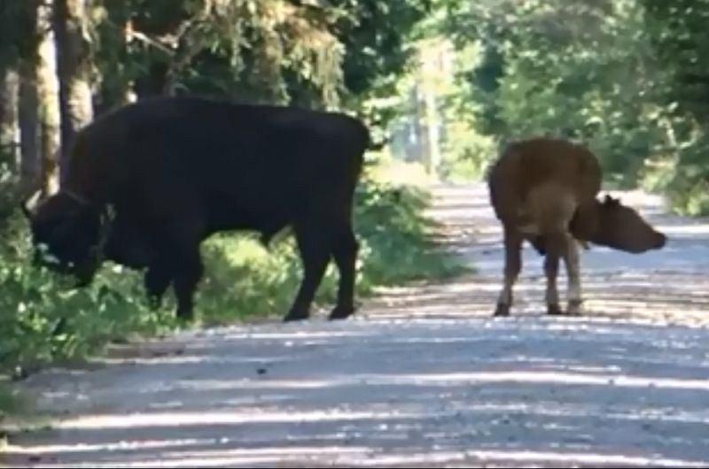 Pomylili krowę z żubrem