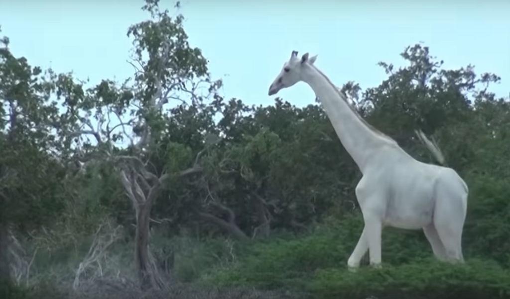 Biała żyrafa na nagraniu opublikowanym przez Hirola Conservation z Kenii.