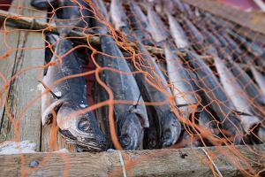 Norweskie farmy rybne pracują na pełnych obrotach. Przemysłowe metody staną się bardziej ekologiczne?
