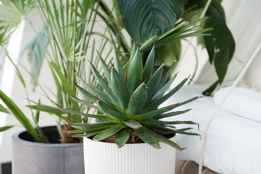 Agawa - długowieczna roślina, która zakwita tylko raz. Zdjęcie ilustracyjne