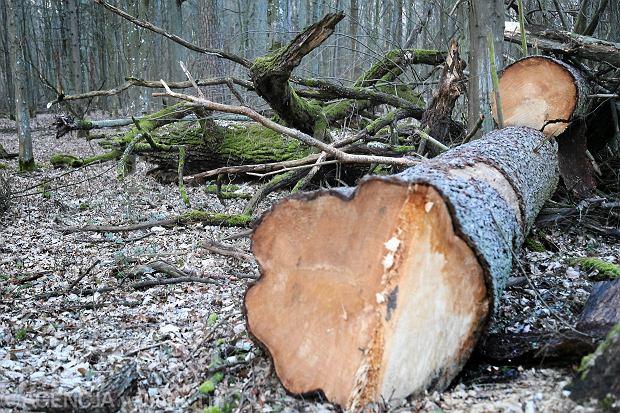 Atak na Puszczę Białowieską trwa. Większa wycinka w najcenniejszych białowieskich lasach