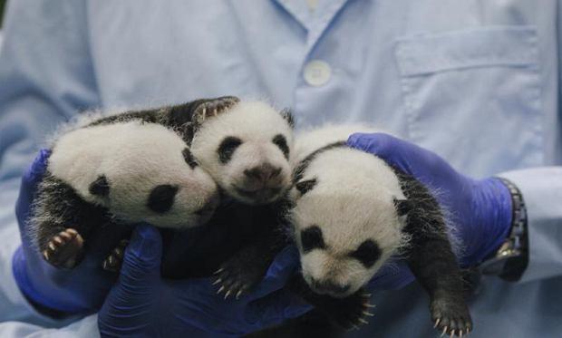 Małe pandy wielkie