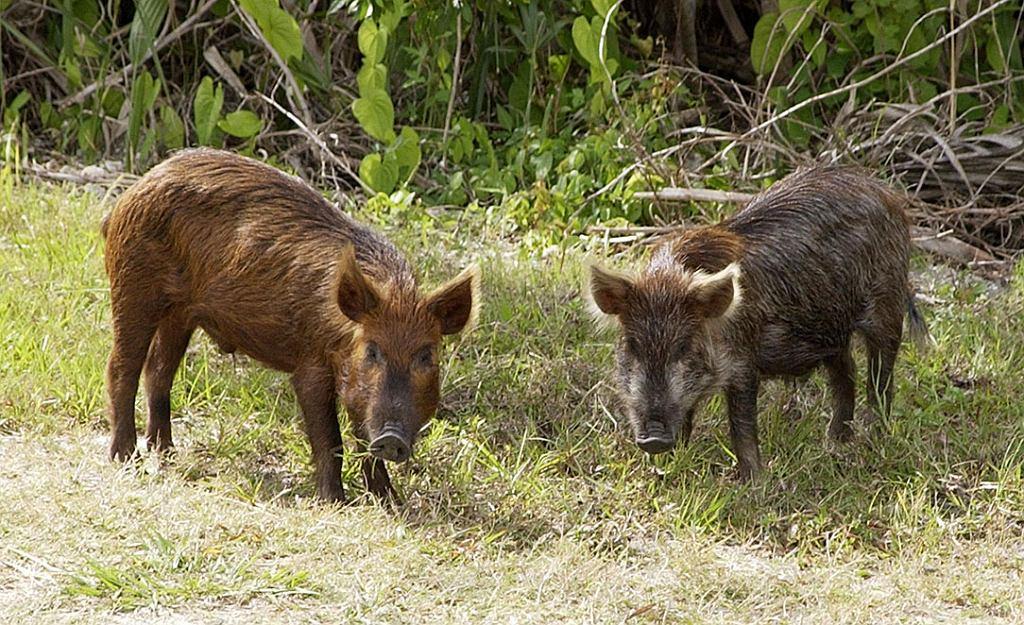 Dziki introdukowane na Florydzie