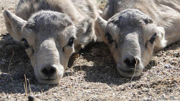 Nos w kształcie trąbki i bezdenne czarne oczy - tak prezentuje się jedna z najbardziej niezwykłych antylop świata: suhak (fot: WWF Mongolia)