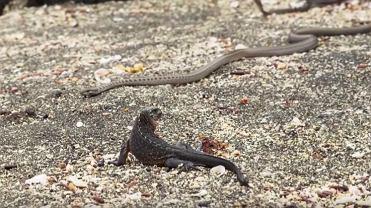 Mały legwan morski kontra węże
