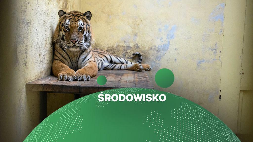 Zebrano milion złoty na tygrysy