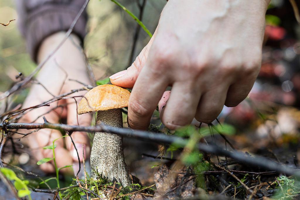 Grzybobranie, zdjęcie ilustracyjne