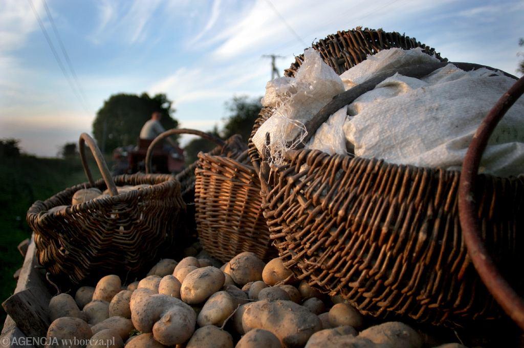 Ziemniaki z Egiptu dotarły do Polski (ziemniaki - zdj. ilustracyjne)