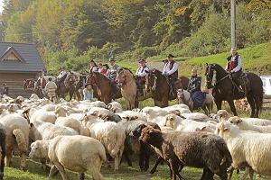 Jesienny redyk w górach. Setki owiec schodzą z hal. Na oscypki trzeba poczekać do wiosny [GALERIA]