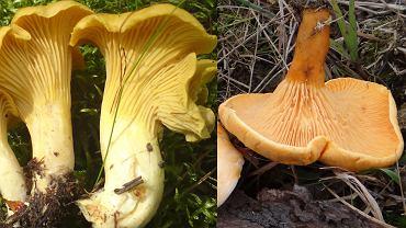 Pieprznik jadalny (po lewej) i lisówka pomarańczowa (po prawej)