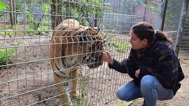 Ewa Zgrabczyńska, dyrektor zoo w Poznaniu, z tygrysem uratowanym z nielegalnej hodowli w Pyszącej pod Śremem