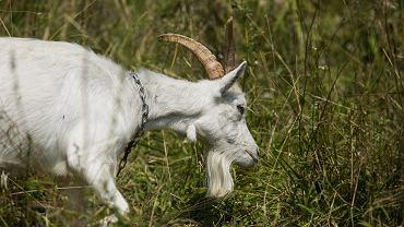Właściciel stada kóz z wyspy na Wiśle usłyszał zarzut znęcania się nad zwierzętami. Zdjęcie ilustracyjne