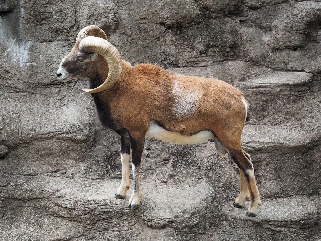 Ustrzel (aparatem) muflona podczas bezkrwawego safari w Gołdapi