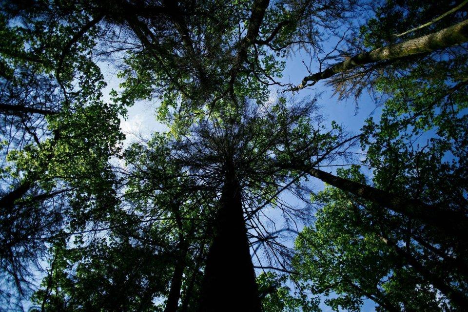 Niebo prześwieca przez korony drzew w Puszczy Białowieskiej.  W sobotę w Puszczy rozpoczęła się inspekcja ekspertów Międzynarodowej Unii Ochrony Przyrody. Mają ocenić, czy i w jaki sposób zaakceptowana przez ministra środowiska zwiększona wycinka wpłynie na stan lasu. Zdaniem leśników to jedyny sposób na powstrzymanie atakującego świerki kornika.