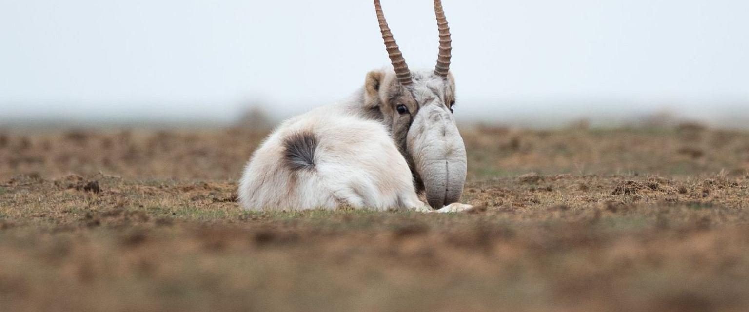 Antylopa z trąbą, czyli suhak, to gatunek, któremu grozi wyginięcie (Fot. Shutterstock.com)
