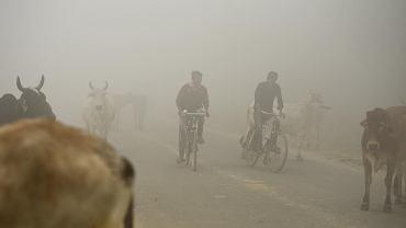 Indie walczą ze smogiem. Mężczyźni na rowerach próbują ominąć krowy, które stoją na ulicy