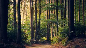 las (zdjęcie ilustracyjne). Od 3 kwietnia obowiązuje zakaz wstępu do lasu - informują Lasy Państwowe