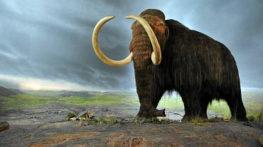 Jeszcze długo po zniknięciu większości przedstawicieli gatunku z powierzchni kontynentów niewielka grupa włochatych mamutów starała się przetrwać na znajdującej się na Morzu Beringa Wyspie Świętego Pawła