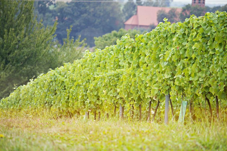 Zdjęcie numer 5 w galerii - Dobre polskie wina naprawdę istnieją, choć budzą kontrowersje. Głównie ze względu na cenę