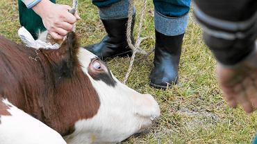 Rytualny ubój byka w podlaskich Bohonikach
