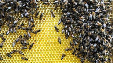 Uwaga, zgnilec amerykański! Pszczoły zagrożone. Teren Płocka i okolic zapowietrzony