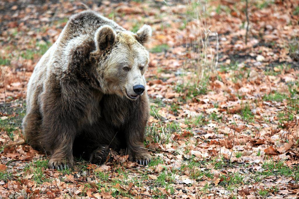 Niedźwiedź / Zdjęcie ilustracyjne