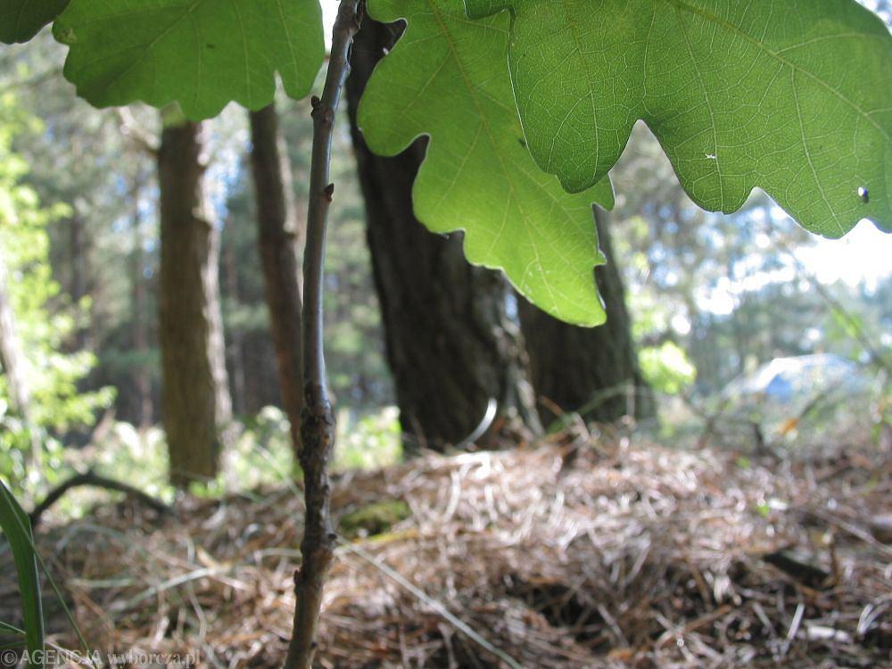 Susza w lesie