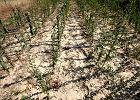 Rząd przeznaczy 450 mln zł dla poszkodowanych rolników