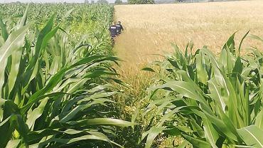Policjanci na polu kukurydzy