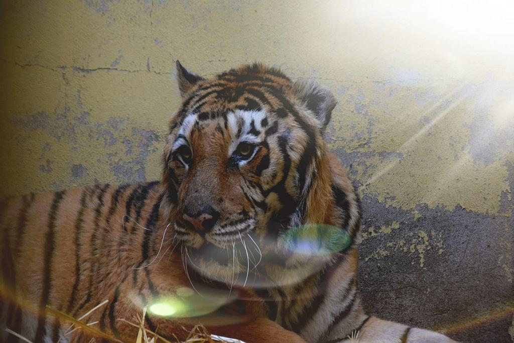 Tygrys Gogh po operacji w poznańskim zoo.