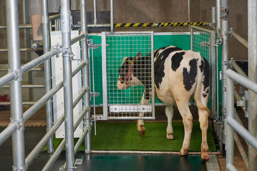 Naukowcy uczą krowy korzystać z toalet
