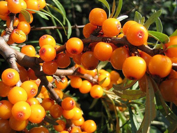 Rokitnik jest krzewem, który ma szerokie zastosowanie w