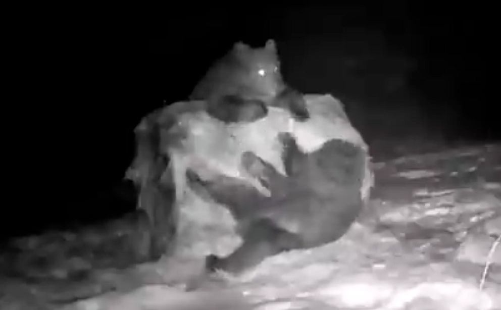 Baligród. Młode niedźwiedzie nie martwią się nadejściem zimy. 'Bela siana i śnieg wystarczy'