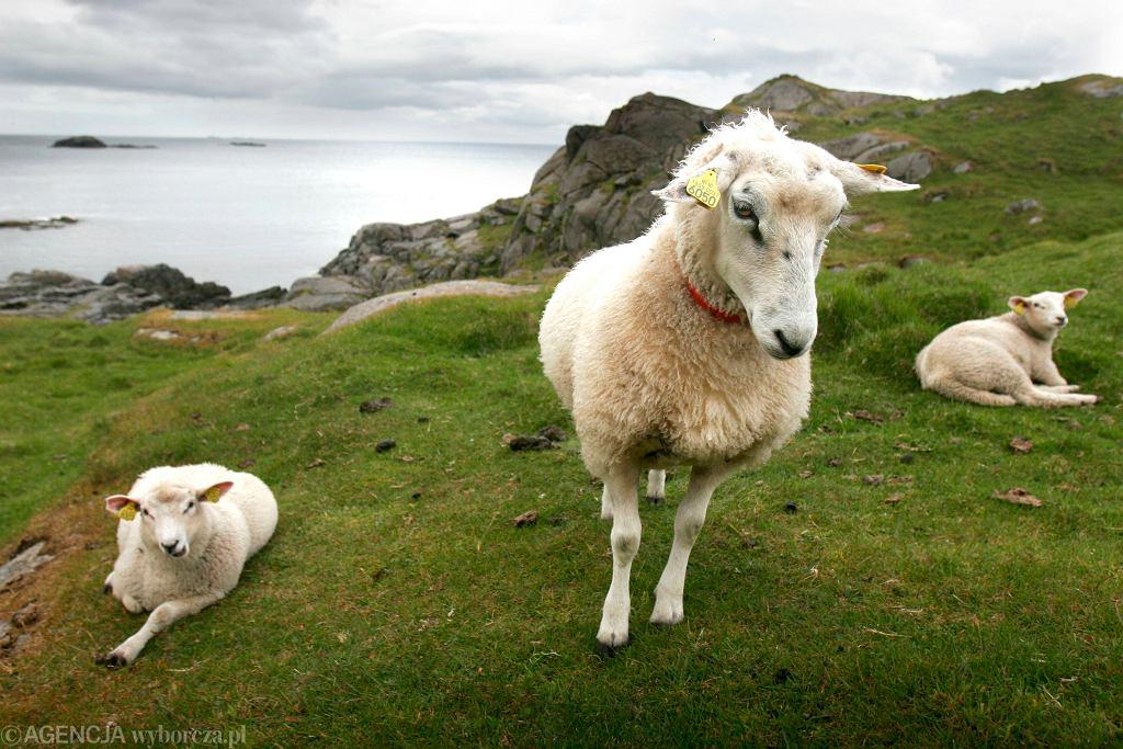 Owce na norweskich fiordach, lipiec 2008