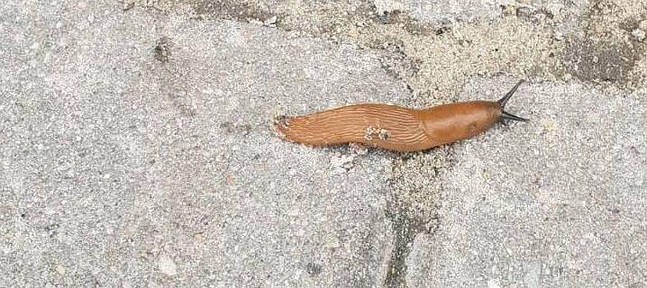 Bezmuszlowe ślimaki - ohyda na chodniku, nadzieja w medycynie