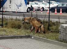 Mieszkańcy Włoch poprosili o pomoc dla psa. Gdy strażnicy dotarli na miejsce, okazało się, że to ranny wilk