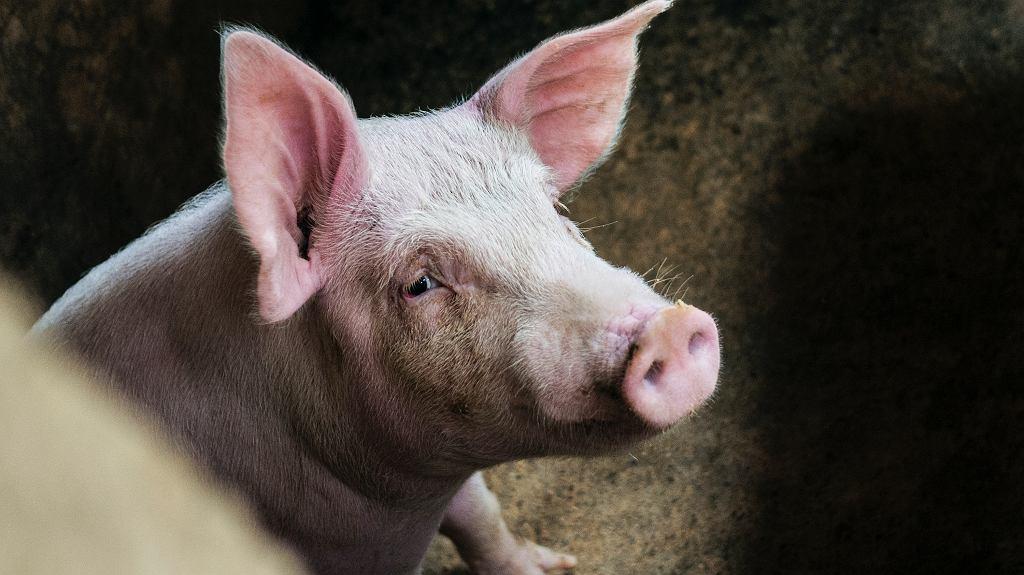 Osiek na Dolnym Śląsku. Świnie, które zjadły swojego właściciela, zostaną zabite (zdjęcie ilustracyjne)