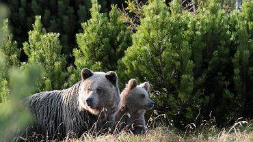 Niedźwiedzie w Tatrach (zdjęcie ilustracyjne)