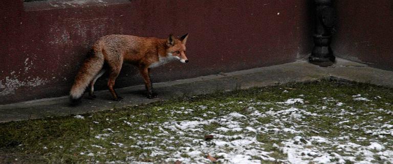 Inwazja lisów w Kołobrzegu. Miasto wystawiło na ulice pułapki